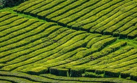 arbatos-plantacija-16862