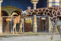 berlyno-zoo-zirafos-1504