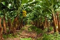 bananu-plantacijos-17531
