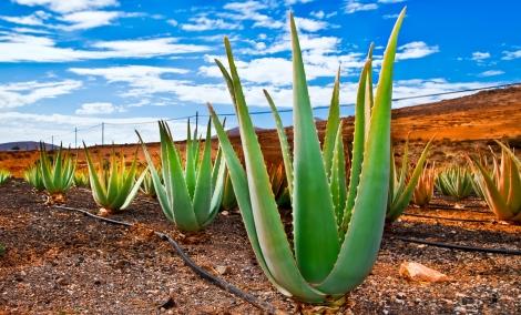 fuerteventura-kaktusas-1821