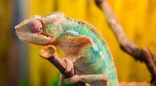 chameleonas-madagaskaras-16234