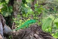 madagaskaras-chameleonas-16622