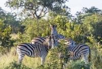 serengeti-zebrai-11540