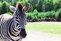 serengeti-safari-zebras-5378