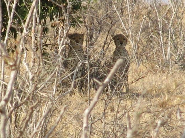 Tsavo gepardai makalius