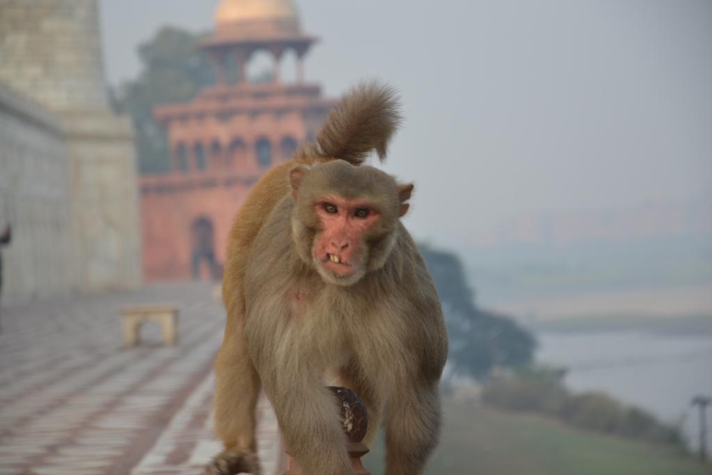 Prie Taj Mahal galite sutikti tokia gyventoja
