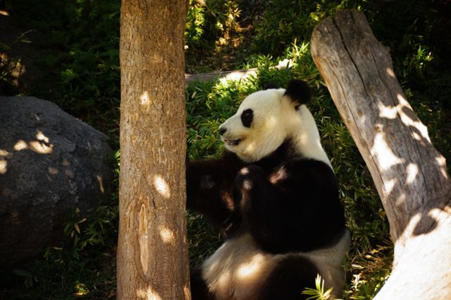 Didžioji panda bando lipti į medį