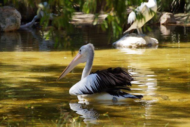 Didieji paukščiai – pelikanai