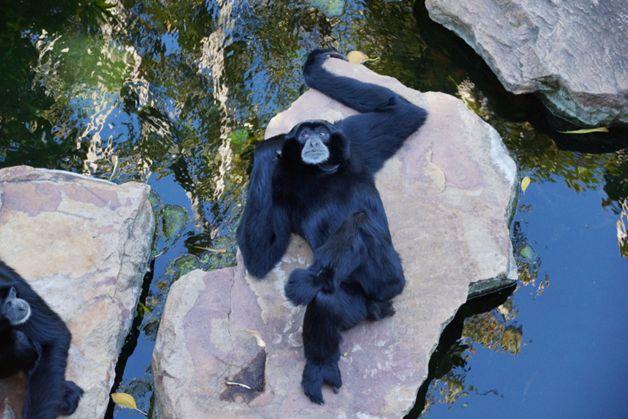 Orangutangas poilsiauja