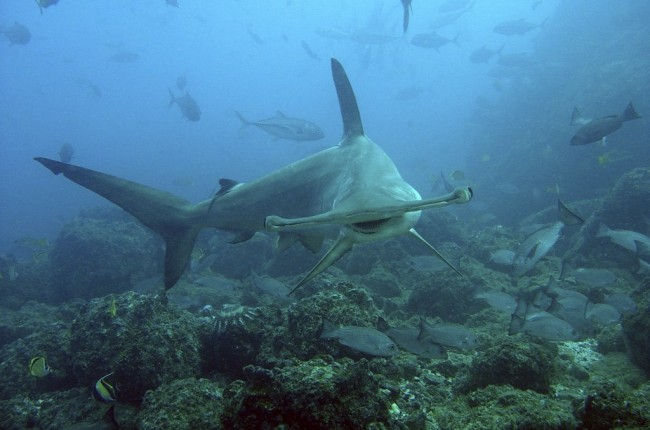 A scalloped hammerhead shark swims over the active reef in Cocos Island, Costa Rica